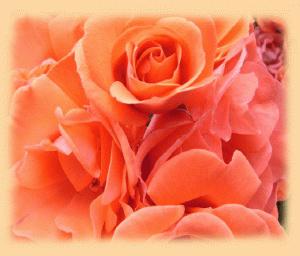 rose-hintergrund